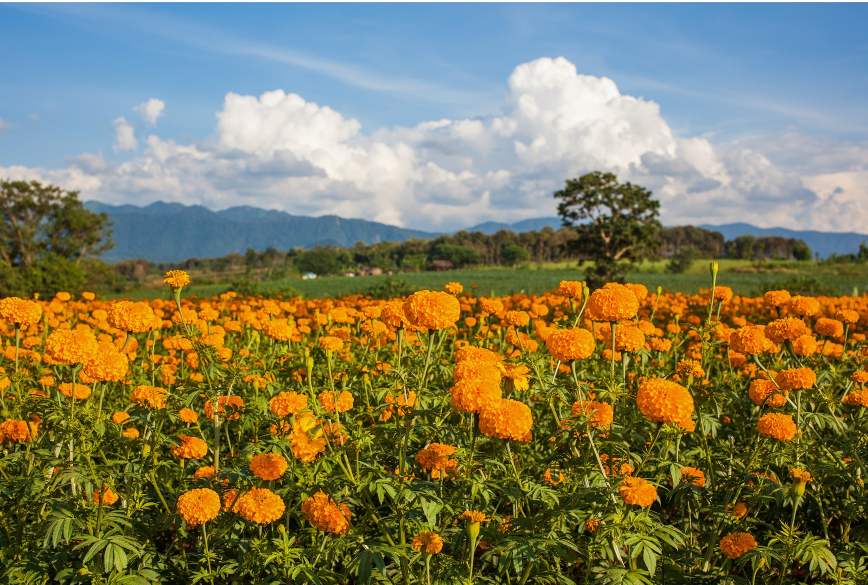 Calendula Fields